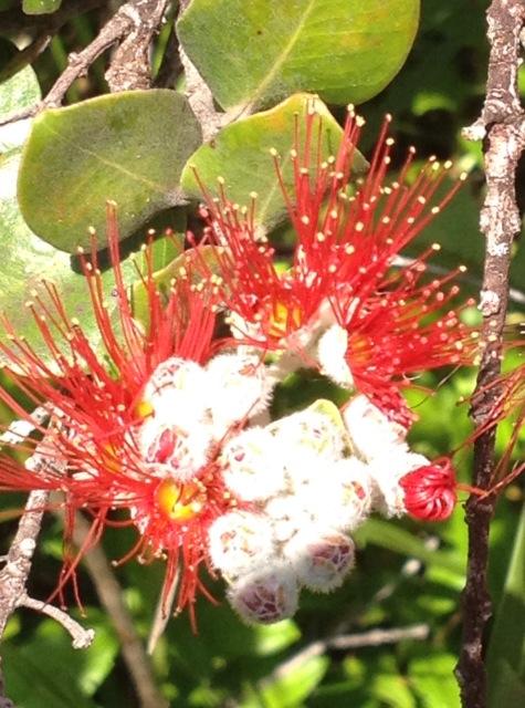 レフアの花